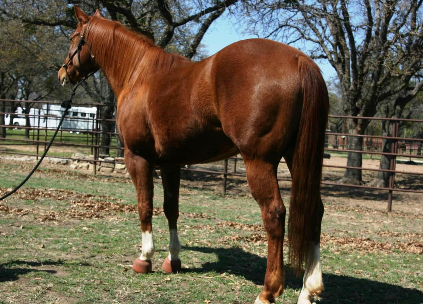 SOLD - 2006 Stout Good Looking Head/Heel Gelding-Really Broke